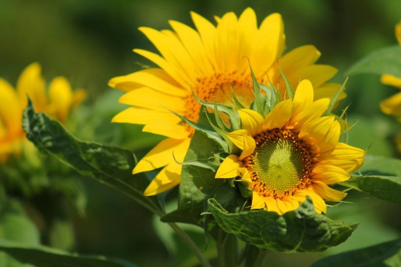 sunflower-547318_1920